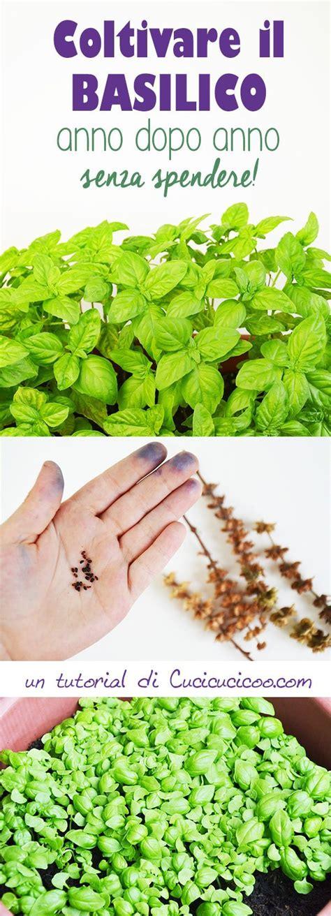 come curare il basilico in vaso come curare una pianta di basilico come ricavare i