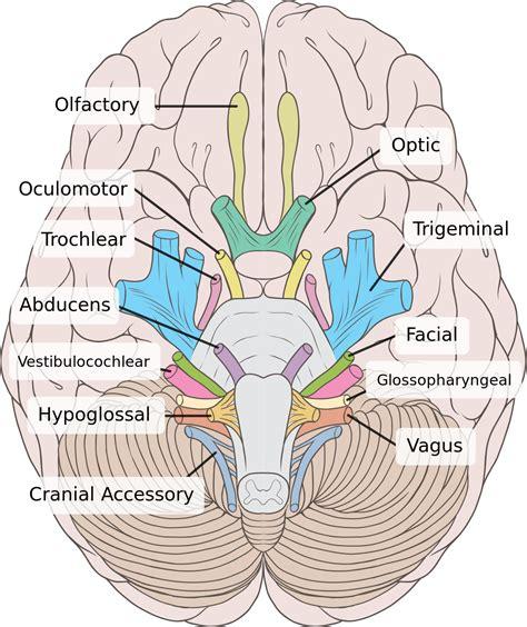 cranial nerves diagram trochlear nerve