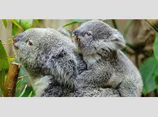 Climate puts squeeze on cuddly koalas Koalas Habitat And Diet