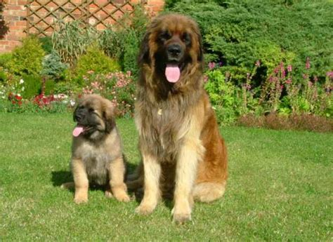 big fluffy breeds 10 big fluffy breeds that are absolutely beautiful