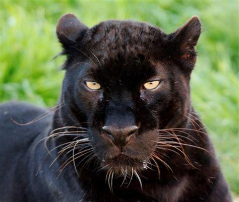 Black Leopard black leopard spirit at jukani wildlife sanctuary in