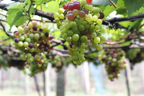 Grow Your Own Grape Vines by 3hr Grow Your Own Organic Grapes Vineyards Gardens