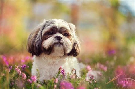 info about shih tzu 9 fluffy facts about the shih tzu mental floss