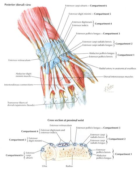 apta oncology section wrist cross section sdp tendons and forces pinterest