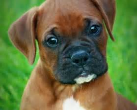 Boxer For Sale Best 25 Boxer Breeders Ideas On