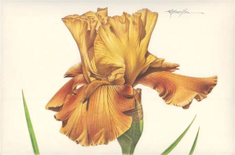 botanical drawing in color 0823007065 illustration bearded iris gallery