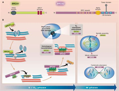 Cancer Suppression by the Chromosome Custodians, BRCA1 and ... Y Chromosome Number