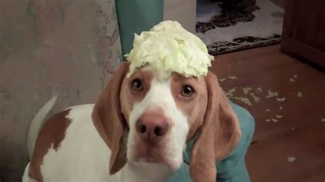 cabbage for dogs cabbage stealing won t give up