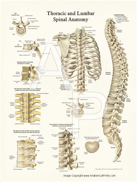7 Things To About Bones by Thoracic Spine Anatomy Thoracic Spine Anatomy Poster
