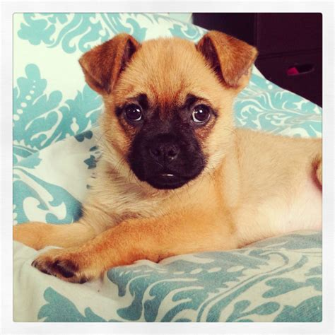 pug pomeranian puppies pomapug puppy all about pets baby pugs pomeranian puppy and puppies