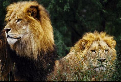 imagenes de leones chidos las mejores fotos de leones nunca antes vistas taringa