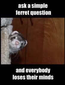 Weasel Meme - 643 best images about ferrets on pinterest cute funny