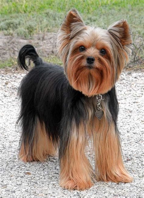 haircuts for yorkshire terriers with silky hair 955 best yorkies images on pinterest doggies yorkies