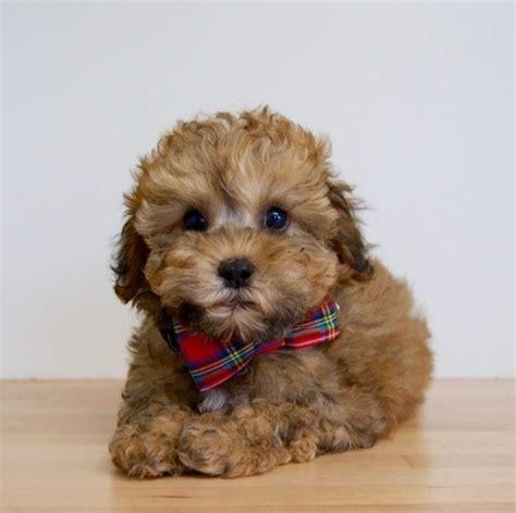 shih tzu poodle lifespan shih tzu x poodle puppies for sale nsw photo