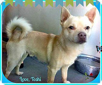 shiba inu puppies seattle seattle wa shiba inu chihuahua mix meet toshi a for adoption