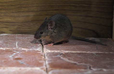 Mouse In The House by Is Your Family Safe From Harmful Pests American Pest