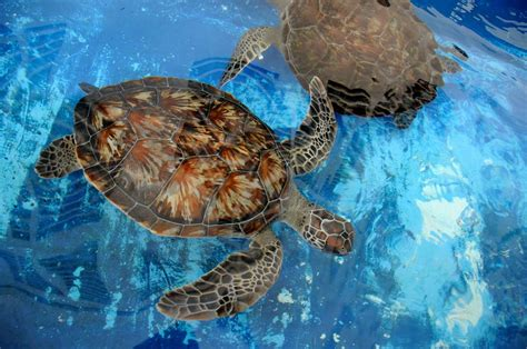 imagenes de tortugas blancas m 233 xico en riesgo de un embargo pesquero por tortugas