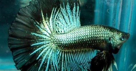 Makanan Ikan Hias Kecil Alami the best tik