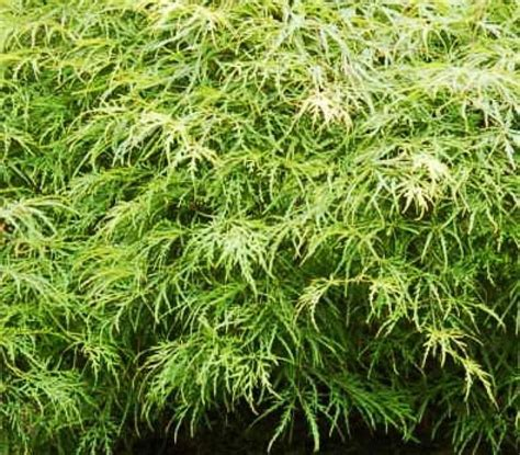 acero in vaso a di acero giapponese cultivar nane pi 249 adatte alla