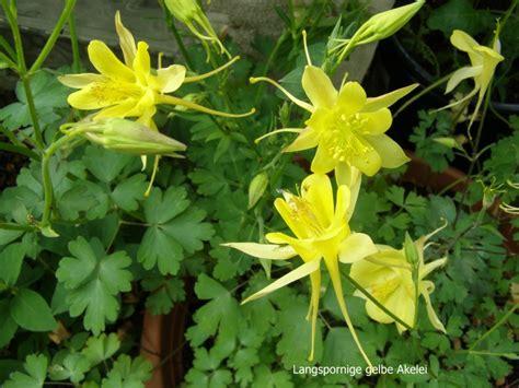 stauden gelb winterhart gelb bl 252 hende stauden panoramio photo of gelb bl hende