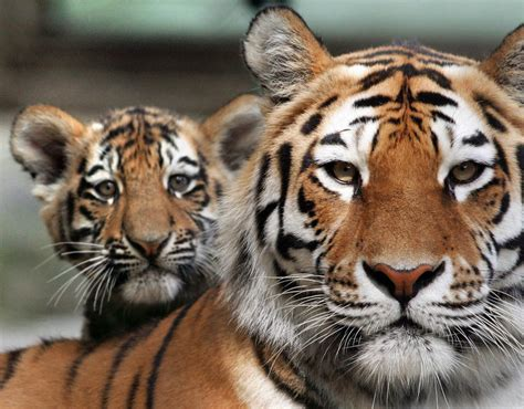 baby tiger with big tiger with images top 10 facts about tigers express co uk