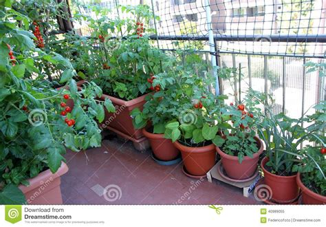 Apartment Tomato Plants Growing Tomatoes On The Terrace Of The Apartment Building