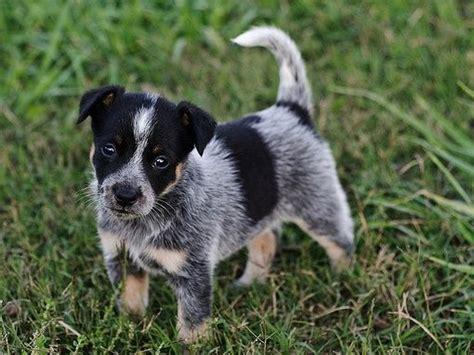newborn blue heeler puppies blue heeler puppy adorable