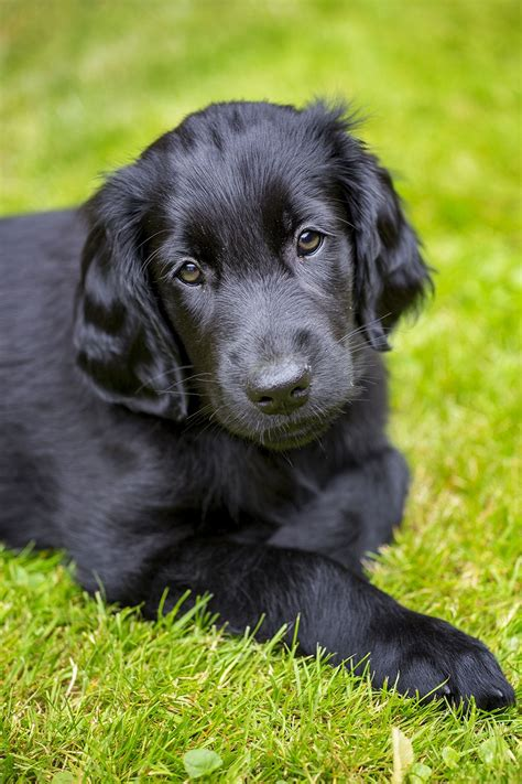 libro the flat coated retriever flatcoated retriever puppy 8 weeks coach retriever puppies flat coated