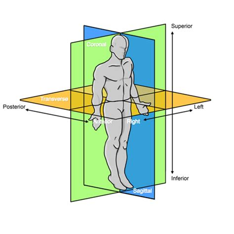 anatomical planes and sections anatomy tutorial anatomic position atlas of human