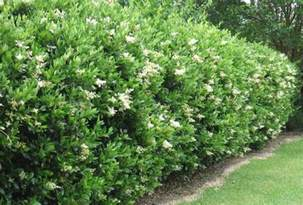 japanese or wax privet shrub ligustrum japonicum zones 7 10 height 11 20 spread 6 10