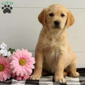 charm city puppies columbia md golden retriever puppy for sale in baltimore breeds picture