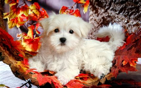 beautiful cute puppies wallpapers  hd desktop