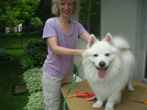 samoyed mixed with pomeranian samoyed chow mix breeds picture