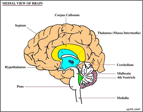 diagram of diencephalon neuroanatomy for nami part 1 and bodywork