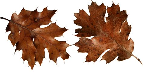 dry leaf clipart clipground