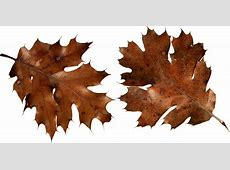 One dry leaf clipart - Clipground Oak Leaf Pictures Clip Art