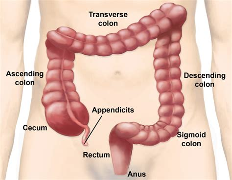 what are the four sections of the large intestine large intestine parts and functions new health guide