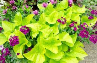 Bright Green Foliage Plants - trailing plants make great container accents