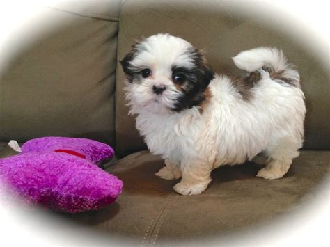 shih tzu puppies for sale florida mal shi or maltese shih tzu puppies for sale in ocala florida quot saddie quot
