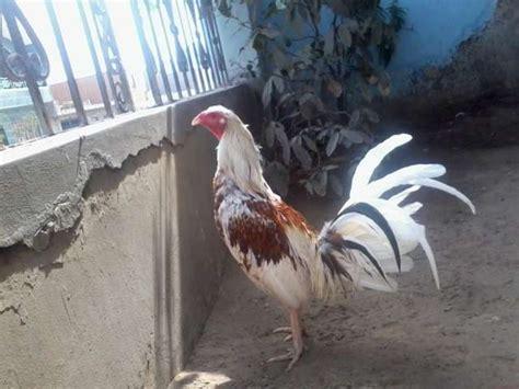 pico y espuelas 2016 gallos de pelea pico y espuela gallos finos