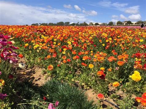 Flower Garden Carlsbad The Garden Picture Of Carlsbad Flower Fields Carlsbad Tripadvisor