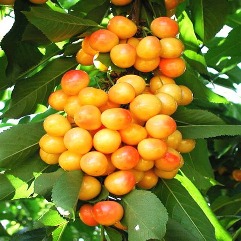 fruit tree seeds for sale aliexpress buy sale 2016 asian cherry seeds