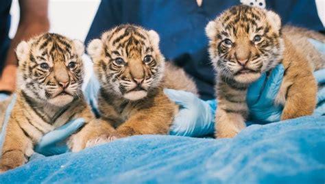 sumatran tiger cubs zooborns