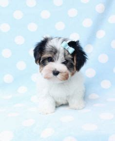 yorkie puppies for sale sydney biewer terrier puppies for sale at teacups