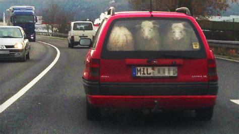 Auto Schäfer by Kofferraum Kurios Ein Echt Scha R Fer Tiertransport