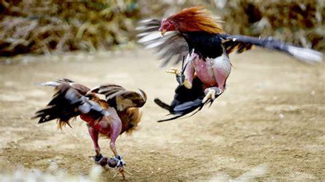 link resmi sabung ayam  melindungi   penipuan