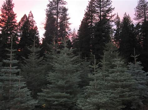 best christmas tree farms in washington state tree sales on the rise in edc lake tahoe newslake tahoe news