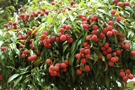 lychee fruit inside how to grow lychees plant