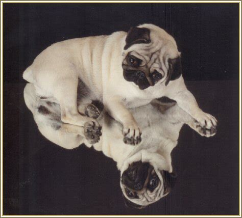pugs in history welcome to caravelle pugs