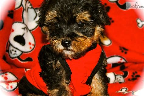 yorkie poo puppies for sale dallas tx yorkiepoo yorkie poo puppy for sale near dallas fort worth 7cc50b30 3d31